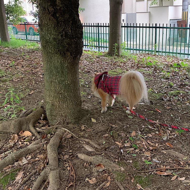 今朝は雨☔️でしたので、たくさん降る前に早めに行ってきました😊 昨日の縁石おばさん、今朝も縁石歩いてましたよ🤣🤣 さすがに2日連続見かけると、笑いしか起きません🤣🤣 この後、太めの木にお相撲さんのように体当たりしてました😅やっぱり変わった人でした🤣