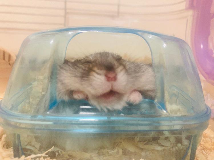 ひぐちです。 おはようございます☀  こんなに可愛く寝るハムスターは他にいないんじゃないかって思った1枚です