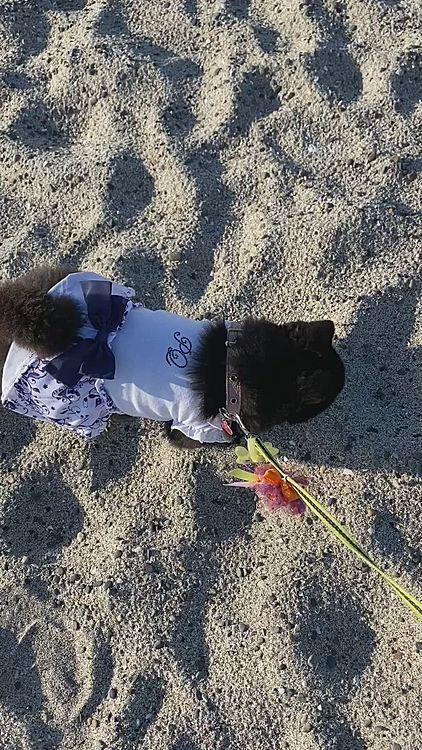 そんなに砂浜嫌いなの? 他のワンコちゃん走り回ってるのに💦 いやいや歩くうにです😞