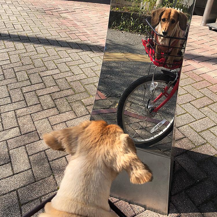 今日は、めいたんの肛門線絞りの日だったので ポカポカお天気の中自転車で行ってきました🙋🏻♀️ (↑歩かないんかーい) 絞ってもらった後、最寄りの駅ロータリーに 鏡のオブジェがあり、ゆっくり通ってみたら めいたん、カゴから飛び出すほど驚き‼︎笑 なんでここに犬がいるねん‼︎って思ったんだと… (自分のこと犬だと思ってない節がありまして笑) 落ち着いてからは睨めっこの冷戦状態でした🏼