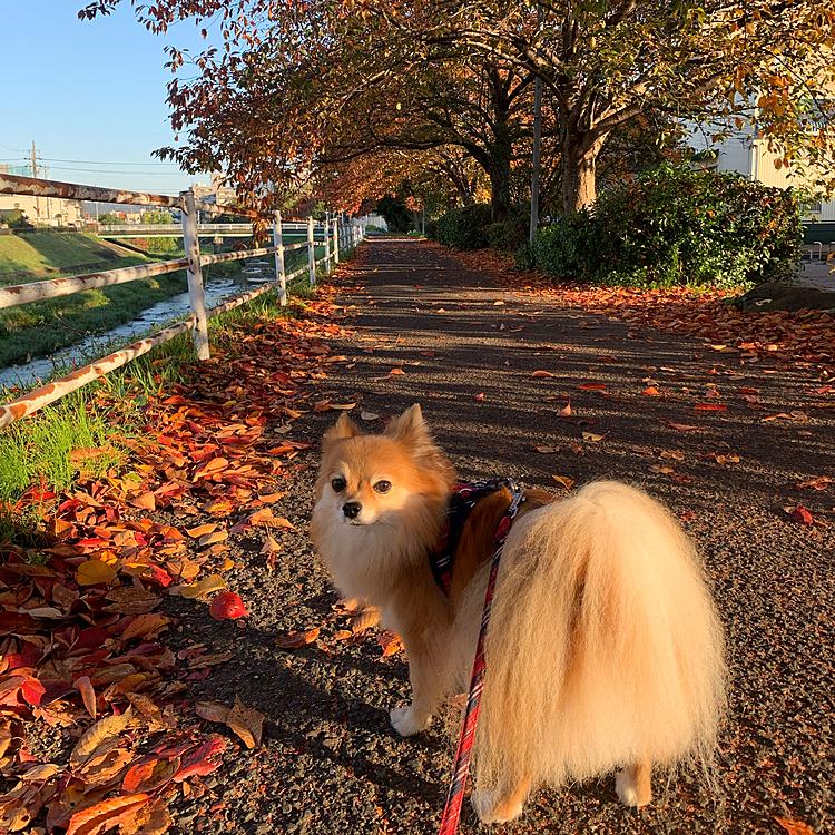2020/11/15 今朝も天気が良くて、ロング散歩に行ってきました✨ 桜の葉っぱが色付いて綺麗でした🍁