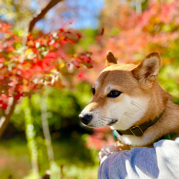 綺麗な紅葉でした🍁 茶太郎は落ち葉をシャカシャカ踏んで遊んでました🐕