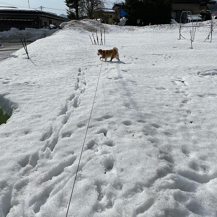 まだまだ雪がモリモリだよー☃ ももちゃんは走り回っております( 。˃ᴗ˂。)