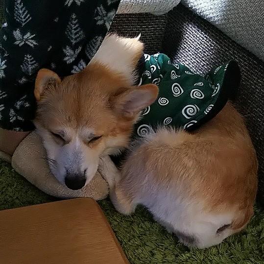 ある日の珍しい様子。 旦那の足の上に顔乗せて寝てます。