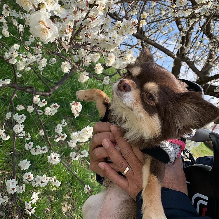 梅を見に行って来ました🌸 綺麗に咲いてました まるちゃんは眩しくて目を細めてましたがあったかくて ウキウキでお散歩してました❤️春がやって来ましたね😃