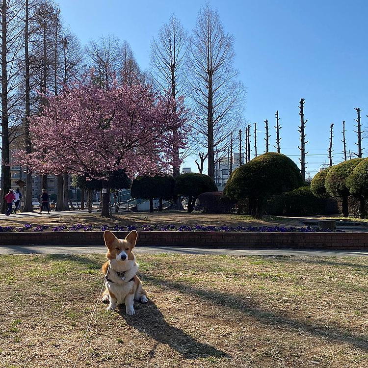 今年も満開の河津桜を見てきました。いよいよ春ですね。