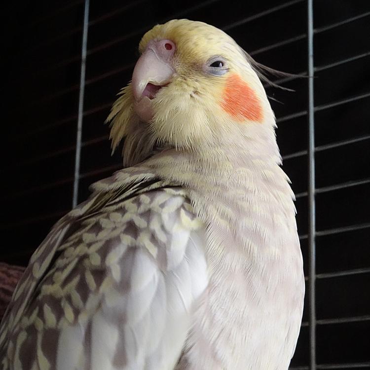 おなかいっぱい、しあわせ顔のむぎちゃん。   はじめましてϵ( ・Θ・。)϶ >>~ これから我が家の鳥たちの写真をアップしていこうと思ってます🐦✨