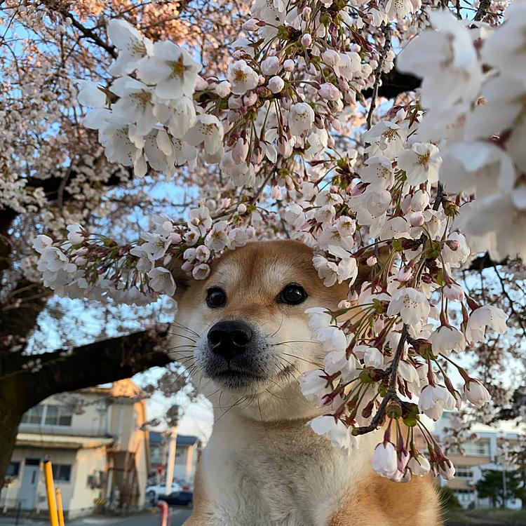 ももちゃんと桜🌸 今日は天気良かったけど寒すぎた(´;꒳;`)