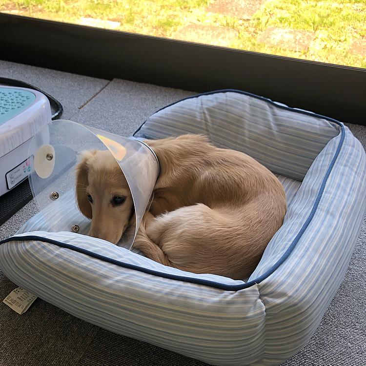 早いもので、メルちゃんも生後6ヶ月となり、去勢手術をしてきました‼️ 今日無事退院してきましたが、初めての外泊と慣れないカラーでもうぐったり😓⤵️ お気に入りのおもちゃで遊ぶ事もできないし、ソファーの端をかじる事もできない😫 こりゃ、寝るしかないかぁ💦💦