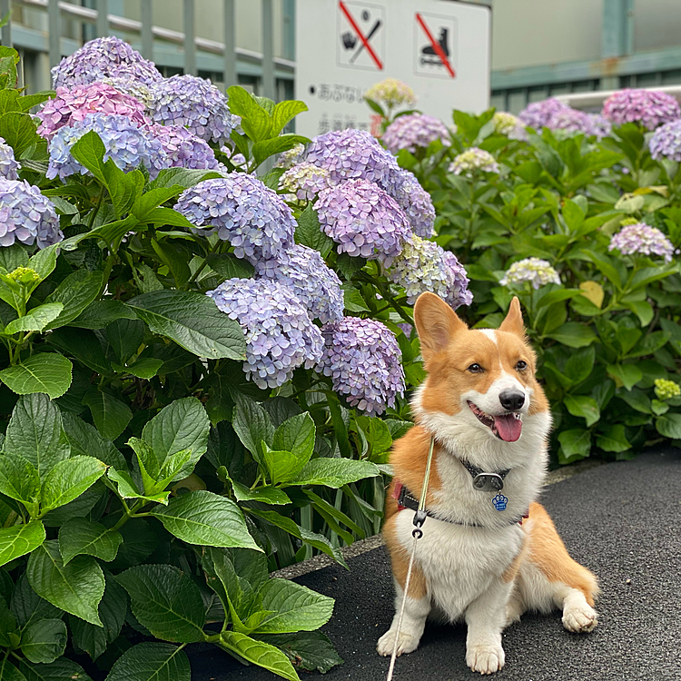 紫陽花満開でした。