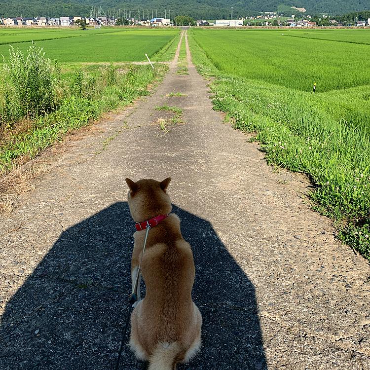 朝の散歩です。夏は朝と言えど暑いですよね。私は首にタオルを巻いて、日傘をさして出かけます。皆さんは暑さ対策どうしてますか?? さあ  かわい子ちゃんの為に 行きますか!!