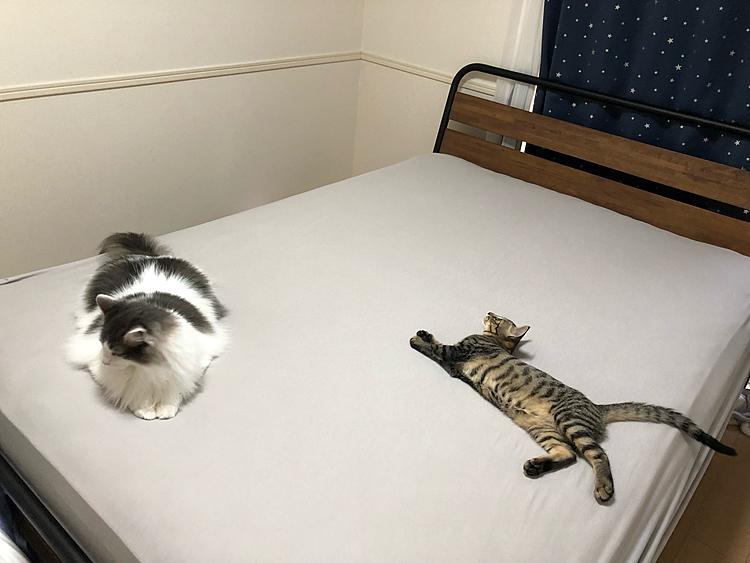"""凄いくつろいでる… ふかふかベッドはやっぱりにゃん達が一番乗りだね(´-ω-)  撮ってばっかでなかなかベッドメイキングが捗らないのはあるあるだと思ってる(◍˃̶ᗜ˂̶◍)ノ"""""""