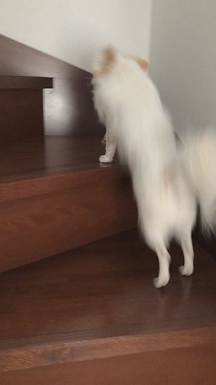 階段を登るポコちゃん🐕 パパが居れば登り、はたまたママが居てもすぐ登っていきます😆 2階に行かせたくない時はガードしてるんですけどね😊