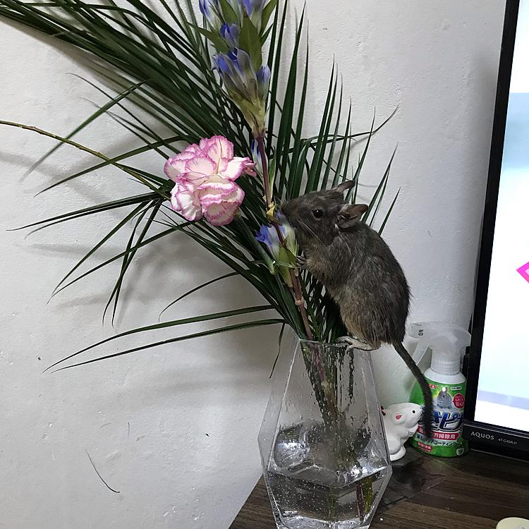 10月27日のちゃちゃ🐭テレビの裏に行ったり、花瓶に乗ったり、今日はいたずら放題で大変でした😵💦