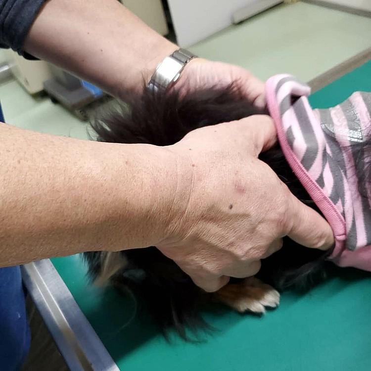 足がフラフラしちゃって救急搬送しました😓 チワワは関節系が弱いらしいです