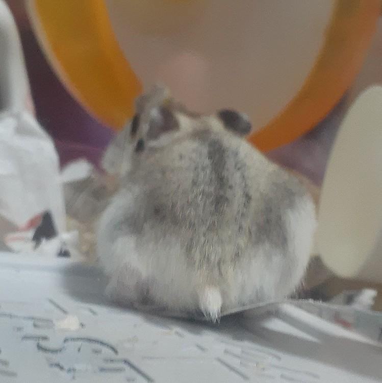 ハムスターのしっぽ、かわいいですね~ 大きくなったらどんな色になるのかな。